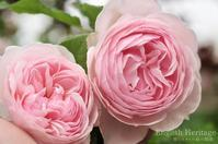 最もイングリッシュローズらしい薔薇 - 彼とカヲリの庭の関係