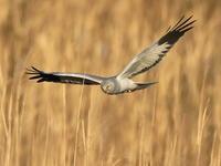 ハイイロチュウヒの塒入り - 『彩の国ピンボケ野鳥写真館』