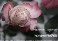 ド開放望遠でマゼンダな秋薔薇。Sony α7RIII + Sony FE 24-105mm F4 G OSS(SEL24105G)のボケっぷりはこれいかに。 - 東京女子フォトレッスンサロン『ラ・フォト自由が丘』-写真とフォントとデザインと現像と-