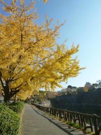 大阪城公園のイチョウ並木の中で♪ - 38歳バツイチ女、リウマチに なっちゃいまして…。