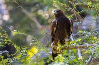 多摩動物園の猛禽 - あだっちゃんの花鳥風月