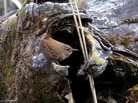 冬のミソサザイを見つけた - コーヒー党の野鳥と自然 パート2