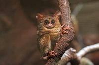 上野動物園:小獣館~鳴きまくりスラウェシメガネザルと掃除の邪魔をするミーアキャット - 続々・動物園ありマス。
