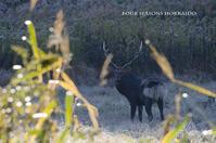 黒いエゾシカ - ekkoの --- four seasons --- 北海道