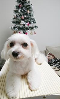 11月のトリミング! - いちご&ニコの photo 日記♪