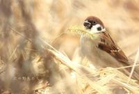 スズメ - 北の野鳥たち