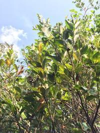 するぶ植物雑話「ナリ味噌 その1」 - 英国メディカルハーバリスト