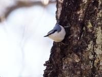 樹肌を伝うゴジュウカラ - コーヒー党の野鳥と自然 パート2