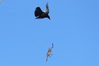 ハイタカの逆襲 - 野鳥公園