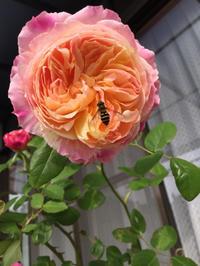最近(11月末)の庭の花達 - 春&ナナと庭の薔薇