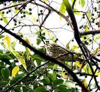 超珍鳥?のウタツグミを・・・ - 一期一会の野鳥たち