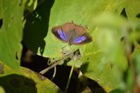ムラサキツバメシジミ12月2日 - 超蝶