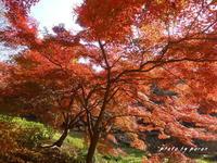 公園の落葉樹は最後の頑張り・・・赤・黄・茶に変わってきます。 - デジカメ散歩悠々