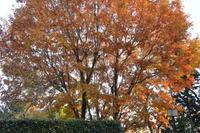 最後の黄葉木 The Last Deciduous Tree With Leaves - my gallery-2