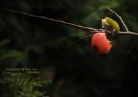 メジロ:Japanese White-eye - 動物園の住人たち写真展(はなけもの写眞館)
