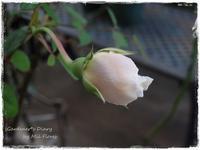 Sonríete Sombreuil. - Gardener*s Diary