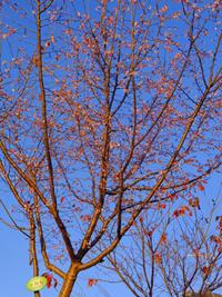 十月桜と梶よう子12月4日(月)その2 - しんちゃんの七輪陶芸、12年の日常