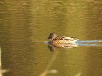 水鳥のいる池にて 12月の午後 - ブルーベルの森-ブログ-英国のハンドメイド陶器と雑貨の通販