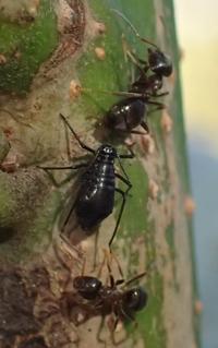 クリオオアブラムシ? Lachnus tropicalis?とアリ - 写ればおっけー。コンデジで虫写真