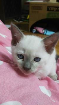 すみれちゃん 新しいお宅へ - MINKWIN Cattery &Pretty Aki