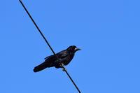 ミヤマガラス、コクマルガラス12月02日-3 - 旧サンヨン野鳥撮影放浪記