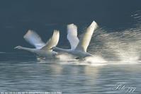 大池の白鳥・・・ - ぶらりカメラウォッチ・・