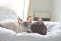 紅碧の顔合わせ。 - タイ猫とお昼寝。