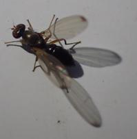 ヒトテンツヤホソバエ科の一種? Sepsis - 写ればおっけー。コンデジで虫写真
