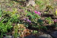 クリスマスローズの植え替えとマイガーデンの花 - 季節の風を追いかけて