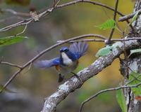 今季はルリも少ないがオスが出てくれました、 - ぶらり探鳥