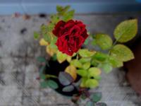 咲き続ける薔薇★いったいいつまで? - 月夜飛行船