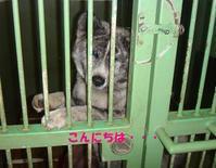 センターの虎毛秋田の女の子、里親さん募集します! - もももの部屋(怖がりで攻撃性の高い秋田犬のタイガ、老犬雑種のベスの共同生活&保護活動の記録です・・・時々お空のモカも登場!)