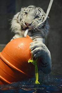 2016.11.5 ニフレル☆ホワイトタイガーのアクア(完)【White tiger】 - 青空に浮かぶ月を眺めながら