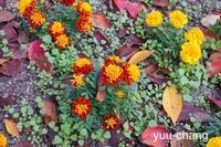 2017.11.20 花壇のマリーゴールド - 下手糞PHOTO BLOG