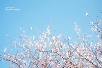冬桜 - jumhina biyori*