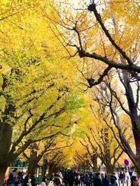 いちょうの黄葉 - 東京ベランダ通信