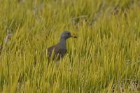 ケリ - くろせの鳥