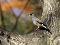 イカル - 『彩の国ピンボケ野鳥写真館』