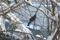 雪の日のヒヨドリと赤い実~12月の旭川 - My favorite ~Diary 3~