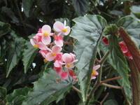 2011年03月20日ベゴニア - 福美荘