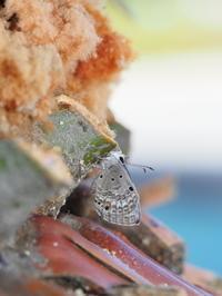 12月のクロマダラソテツシジミ - 自然を楽しむ