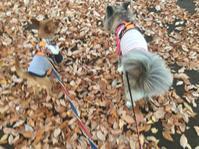 同化 - 琉球犬mix白トゥラーのピカ