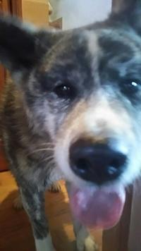 センターの虎毛ちゃん、預かりさん宅へ! - もももの部屋(家族を待っている保護犬たちと我家の愛犬のブログです)