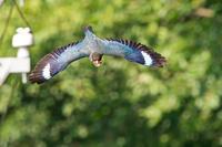ブッポウソウ遠征とチゴモズの初見、初撮り - 気ままに野鳥観察