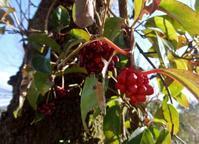 美男蔓 - だんご虫の花