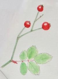 #植物スケッチ 『ノイバラ』 - スケッチ感察ノート
