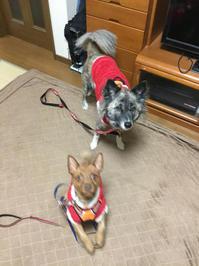季節限定 - 琉球犬mix白トゥラーのピカ