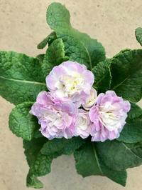 プリムラ ベラリーナ - さにべるスタッフblog     -Sunny Day's Garden-