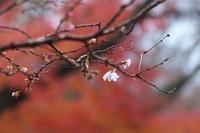 十月桜  - 但馬・写真日和