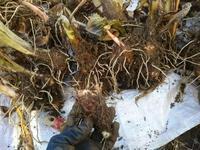 寒い!里芋掘った♪(南国畑) - 化学物質過敏症・風のたより2